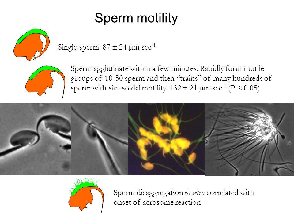 Sperm motility Single sperm: 87  24  m sec -1 Sperm agglutinate within a few minutes.