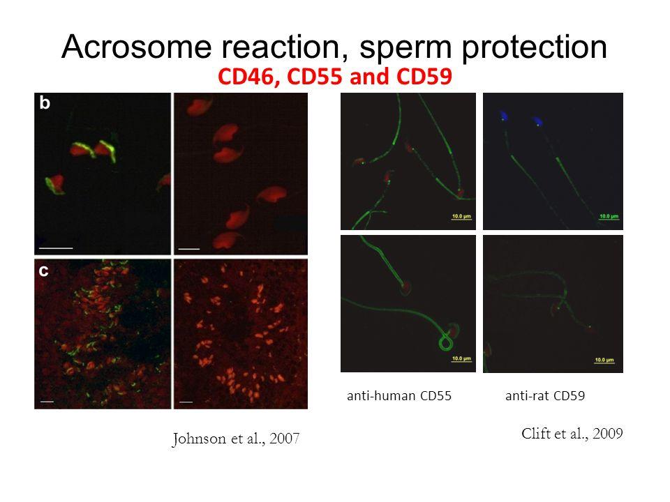 Acrosome reaction, sperm protection CD46, CD55 and CD59 anti-human CD55anti-rat CD59 Clift et al., 2009 Johnson et al., 2007