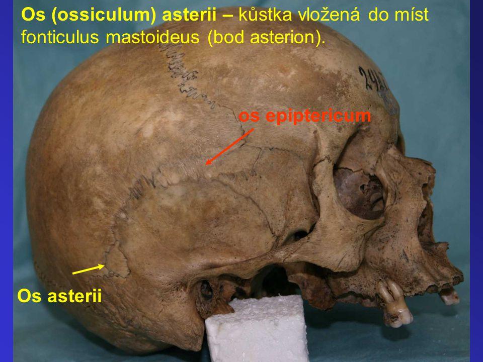 Os (ossiculum) asterii – kůstka vložená do míst fonticulus mastoideus (bod asterion). os epiptericum Os asterii