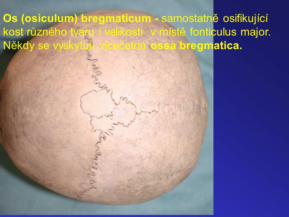 Os (osiculum) bregmaticum - samostatně osifikující kost různého tvaru i velikosti v místě fonticulus major. Někdy se vyskytují vícečetná ossa bregmati