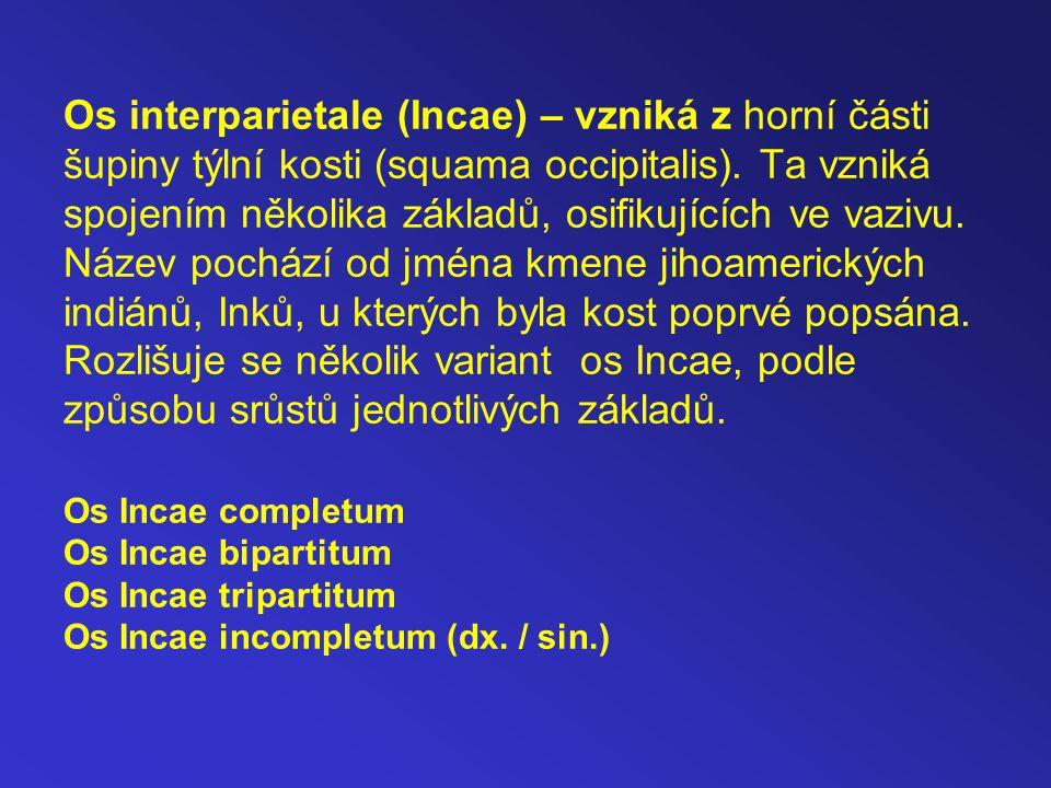 Os interparietale (Incae) – vzniká z horní části šupiny týlní kosti (squama occipitalis). Ta vzniká spojením několika základů, osifikujících ve vazivu