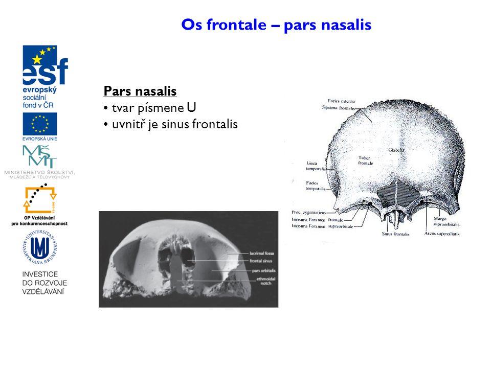 Os frontale – pars nasalis Pars nasalis tvar písmene U uvnitř je sinus frontalis