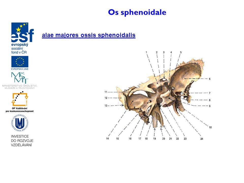 Os sphenoidale alae majores ossis sphenoidalis