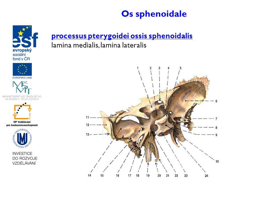 Os sphenoidale processus pterygoidei ossis sphenoidalis lamina medialis, lamina lateralis