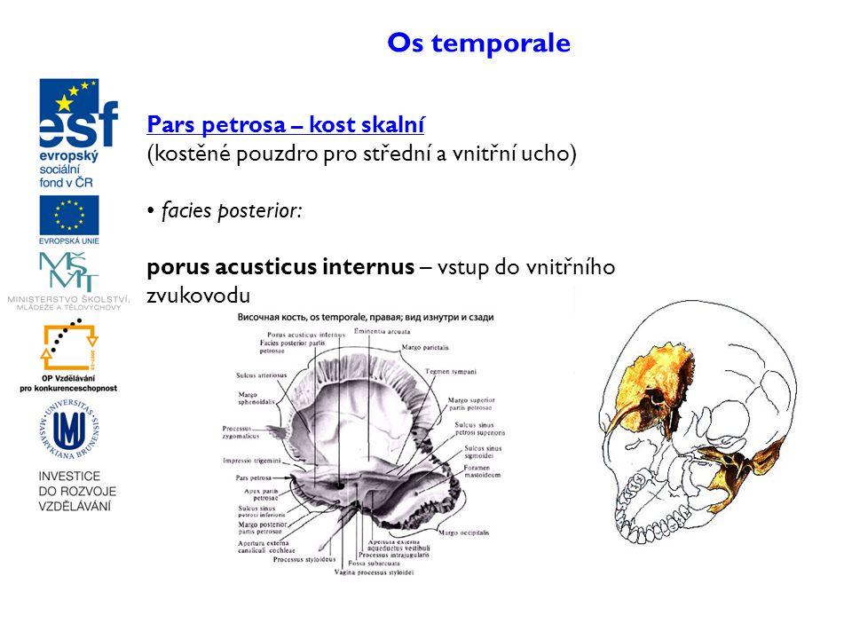 Os temporale Pars petrosa – kost skalní (kostěné pouzdro pro střední a vnitřní ucho) facies posterior: porus acusticus internus – vstup do vnitřního z
