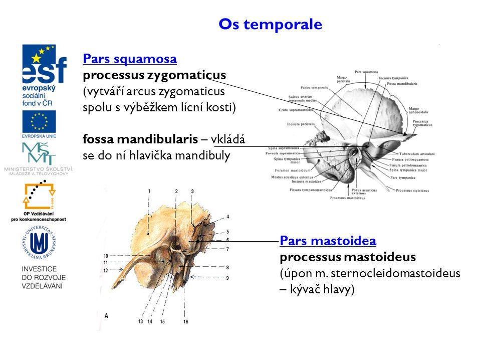 Os temporale Pars squamosa processus zygomaticus (vytváří arcus zygomaticus spolu s výběžkem lícní kosti) fossa mandibularis – vkládá se do ní hlavičk