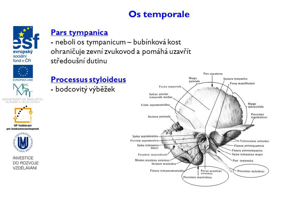 Os temporale Pars tympanica - neboli os tympanicum – bubínková kost ohraničuje zevní zvukovod a pomáhá uzavřít středoušní dutinu Processus styloideus