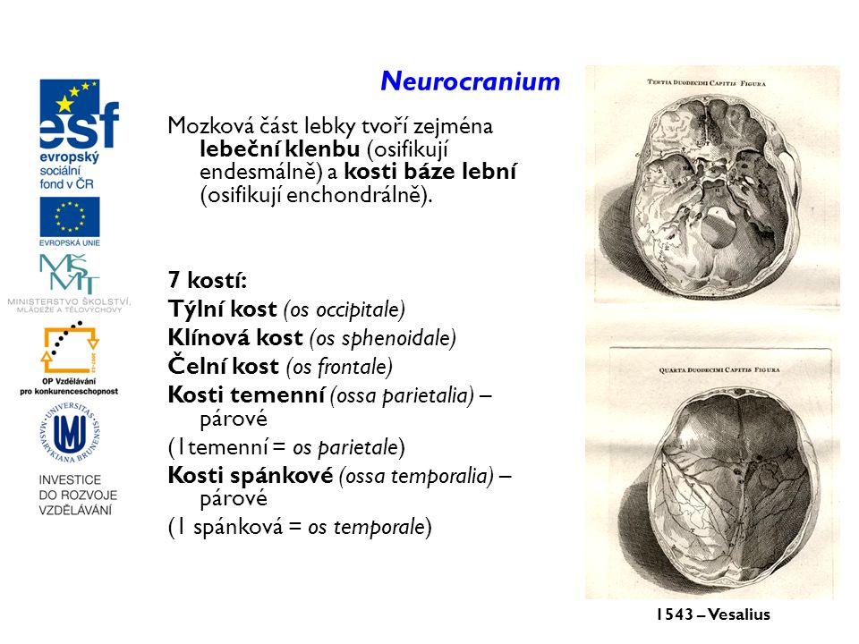 Neurocranium Mozková část lebky tvoří zejména lebeční klenbu (osifikují endesmálně) a kosti báze lební (osifikují enchondrálně). 7 kostí: Týlní kost (