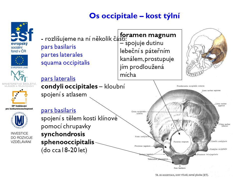 Os occipitale – kost týlní - rozlišujeme na ní několik částí: pars basilaris partes laterales squama occipitalis pars lateralis condyli occipitales –