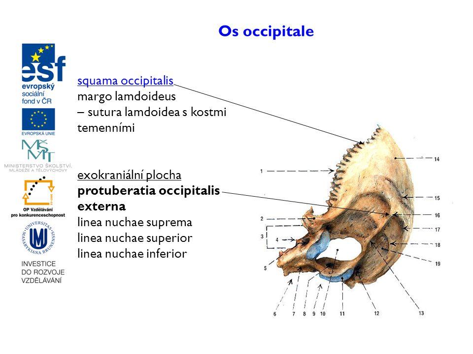 Os occipitale squama occipitalis margo lamdoideus – sutura lamdoidea s kostmi temenními exokraniální plocha protuberatia occipitalis externa linea nuc