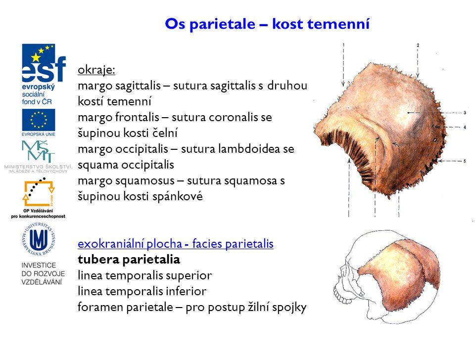 Os parietale – kost temenní okraje: margo sagittalis – sutura sagittalis s druhou kostí temenní margo frontalis – sutura coronalis se šupinou kosti če