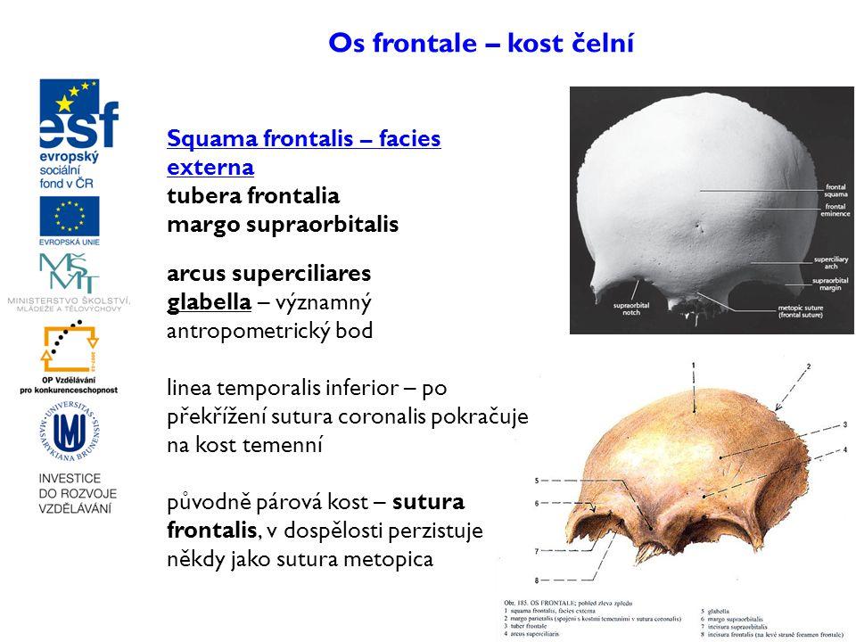 Os frontale – kost čelní Squama frontalis – facies externa tubera frontalia margo supraorbitalis arcus superciliares glabella – významný antropometric