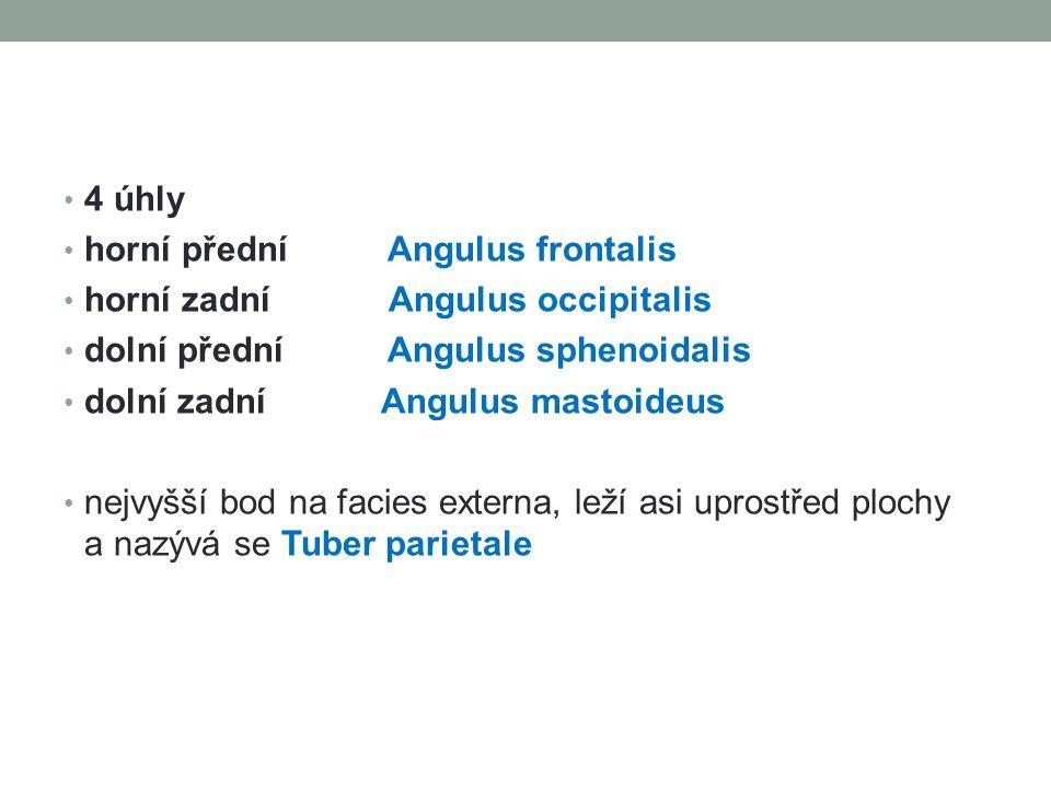 4 úhly horní přední Angulus frontalis horní zadní Angulus occipitalis dolní přední Angulus sphenoidalis dolní zadní Angulus mastoideus nejvyšší bod na facies externa, leží asi uprostřed plochy a nazývá se Tuber parietale