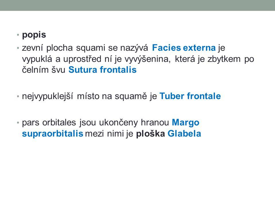 popis zevní plocha squami se nazývá Facies externa je vypuklá a uprostřed ní je vyvýšenina, která je zbytkem po čelním švu Sutura frontalis nejvypukle
