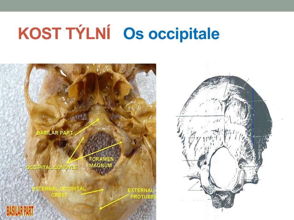 KOST TEMENNÍ Os parietale je párová kost, tvořící horní část klenby má tvar čtyřhranné destičky, která je zevně vypuklá, vnitřně vydutá a na které rozeznáváme 2 plochy vnější Facies externa vnitřníFacies interna