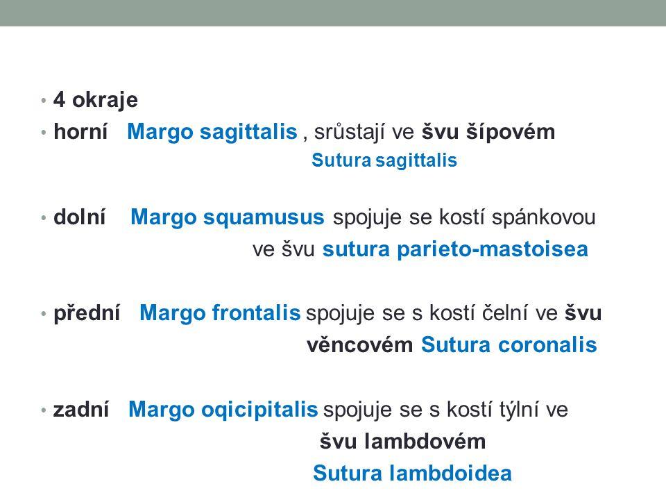 4 okraje horní Margo sagittalis, srůstají ve švu šípovém Sutura sagittalis dolní Margo squamusus spojuje se kostí spánkovou ve švu sutura parieto-mastoisea přední Margo frontalis spojuje se s kostí čelní ve švu věncovém Sutura coronalis zadní Margo oqicipitalis spojuje se s kostí týlní ve švu lambdovém Sutura lambdoidea