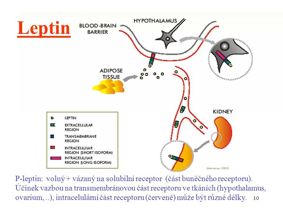 10 Leptin P-leptin: volný + vázaný na solubilní receptor (část buněčného receptoru).