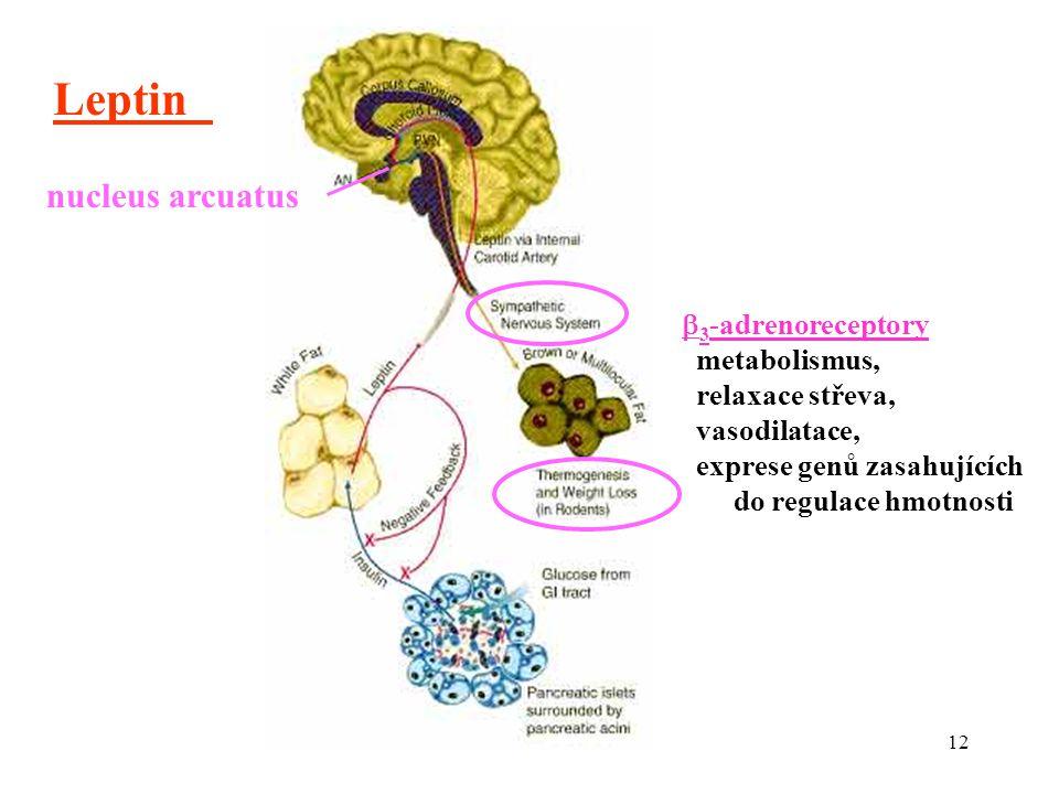12 Leptin nucleus arcuatus  3 -adrenoreceptory metabolismus, relaxace střeva, vasodilatace, exprese genů zasahujících do regulace hmotnosti