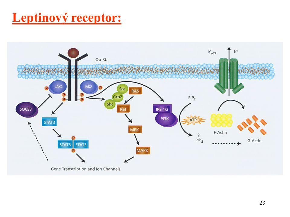 23 Leptinový receptor: