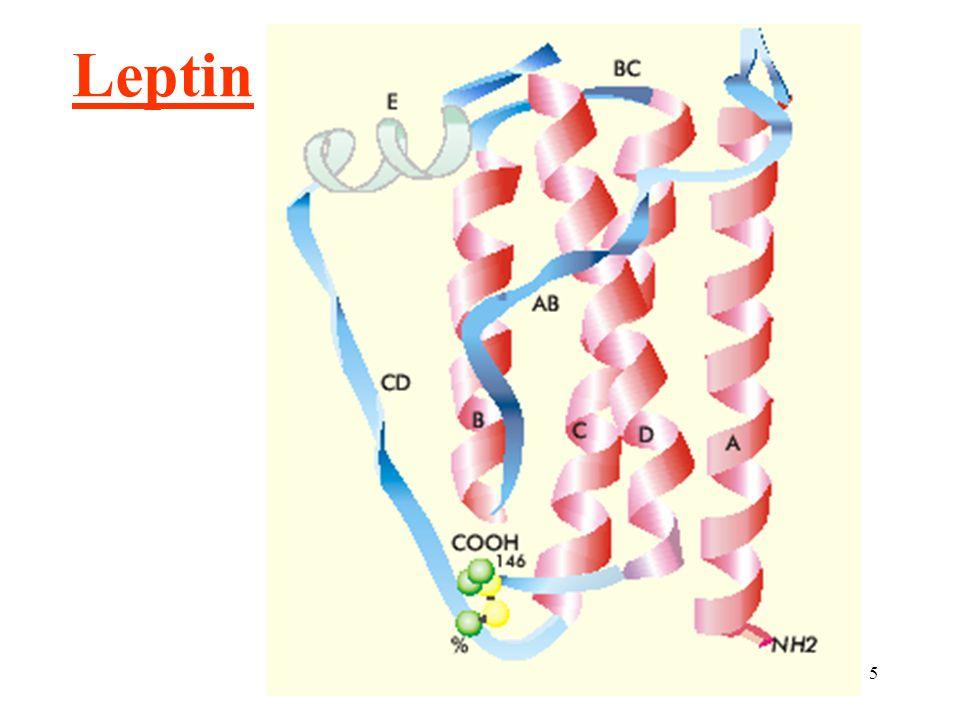16 Leptin: potlačení chuti k jídlu ovlivnění výdeje energie cirkulující receptor (leptin vázající bílkovina M r = 90.000) obezita: zv.