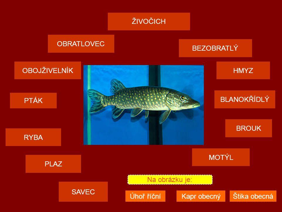 ŽIVOČICH OBRATLOVEC SAVEC PTÁK PLAZ MOTÝL OBOJŽIVELNÍKHMYZ BEZOBRATLÝ RYBA BROUK BLANOKŘÍDLÝ Na obrázku je: Mlok skvrnitýJeštěrka obecná Krokodýl nilský HMYZ BEZOBRATLÝ BLANOKŘÍDLÝ HMYZ BEZOBRATLÝ BROUK BLANOKŘÍDLÝ HMYZ BEZOBRATLÝ MOTÝL BROUK BLANOKŘÍDLÝ HMYZ BEZOBRATLÝ