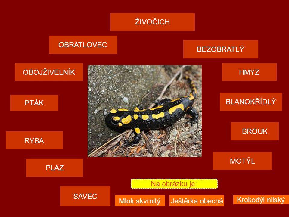 ŽIVOČICH OBRATLOVEC SAVEC PTÁK PLAZMOTÝL OBOJŽIVELNÍKHMYZ BEZOBRATLÝ RYBA BROUK BLANOKŘÍDLÝ Na obrázku je: Včela medonosnáSlunéčko sedmitečnéStřevlík SAVEC