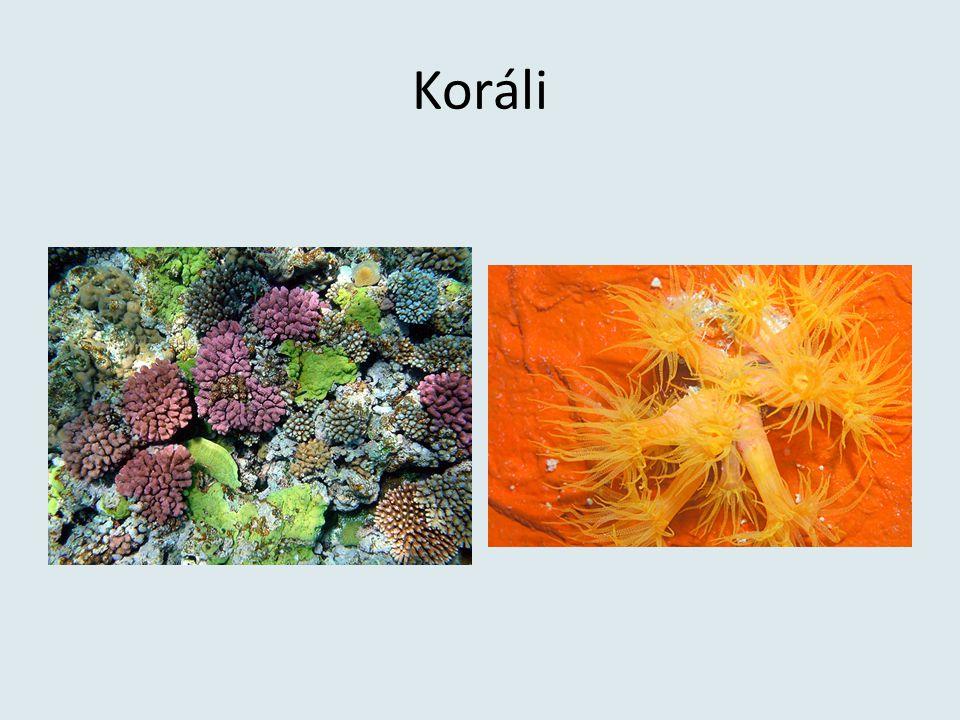 Koráli