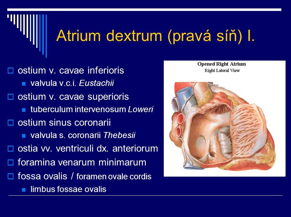 Atrium dextrum (pravá síň) I.  ostium v. cavae inferioris valvula v.c.i. Eustachii  ostium v. cavae superioris tuberculum intervenosum Loweri  osti