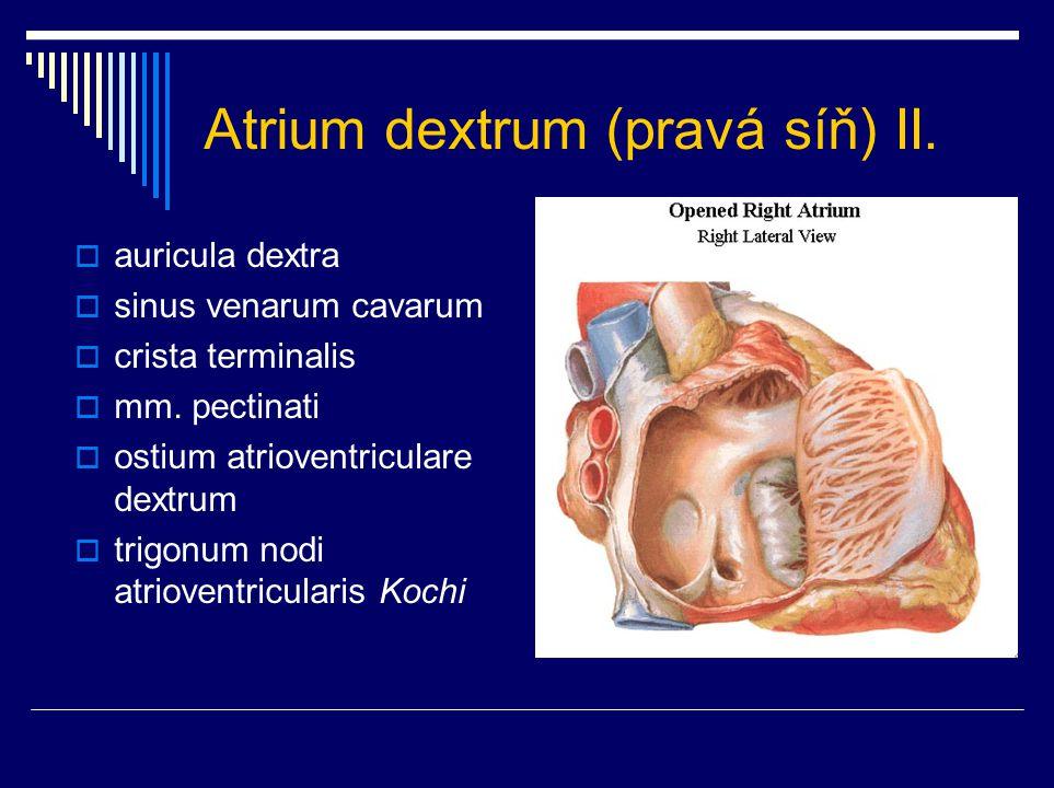 Atrium dextrum (pravá síň) II.  auricula dextra  sinus venarum cavarum  crista terminalis  mm. pectinati  ostium atrioventriculare dextrum  trig