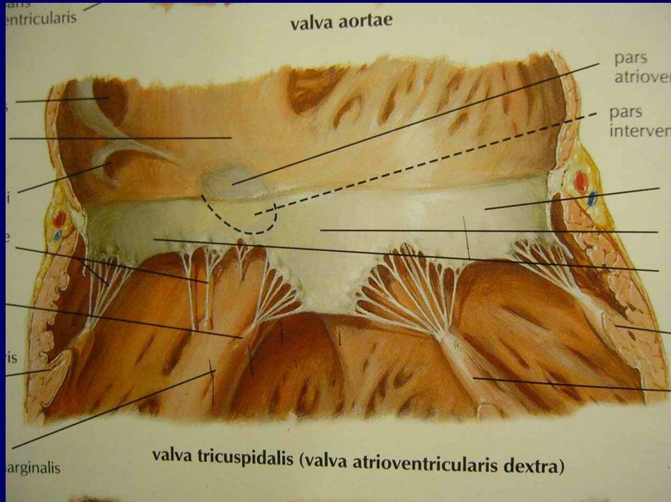 Ventriculus dexter (pravá komora) II.