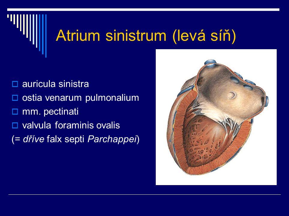 Atrium sinistrum (levá síň)  auricula sinistra  ostia venarum pulmonalium  mm. pectinati  valvula foraminis ovalis (= dříve falx septi Parchappei)