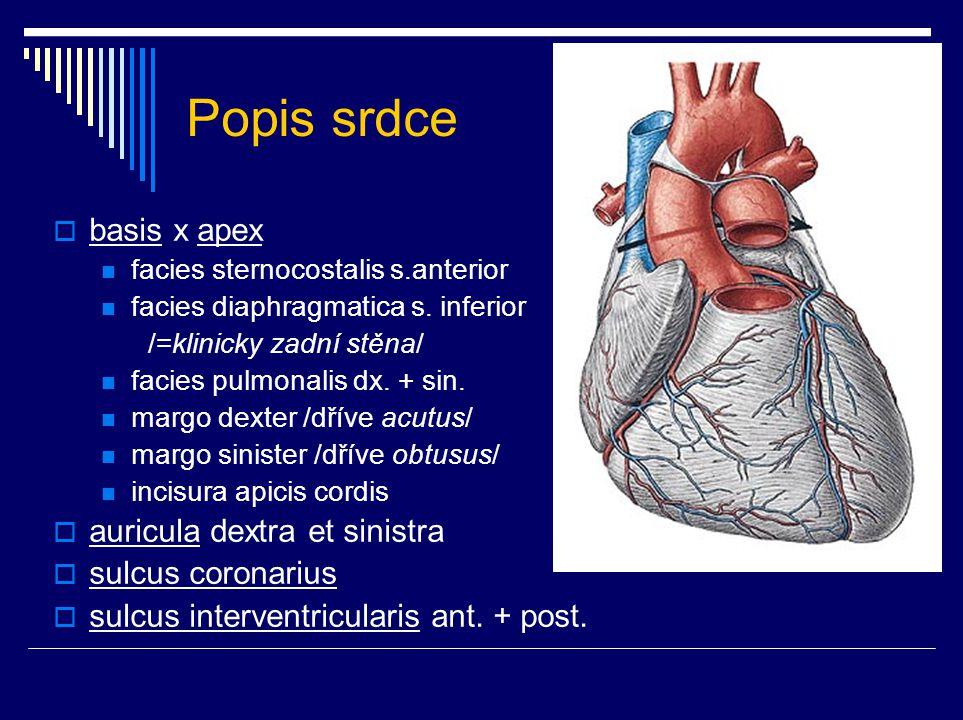Popis srdce  basis x apex facies sternocostalis s.anterior facies diaphragmatica s. inferior /=klinicky zadní stěna/ facies pulmonalis dx. + sin. mar