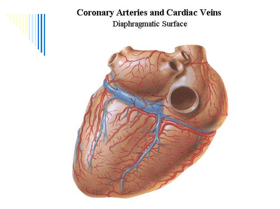 Žíly srdce II. Vv. ventriculi dextri anteriores = vv.