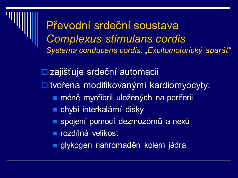 """Převodní srdeční soustava Complexus stimulans cordis Systema conducens cordis; """"Excitomotorický aparát""""  zajišťuje srdeční automacii  tvořena modifi"""