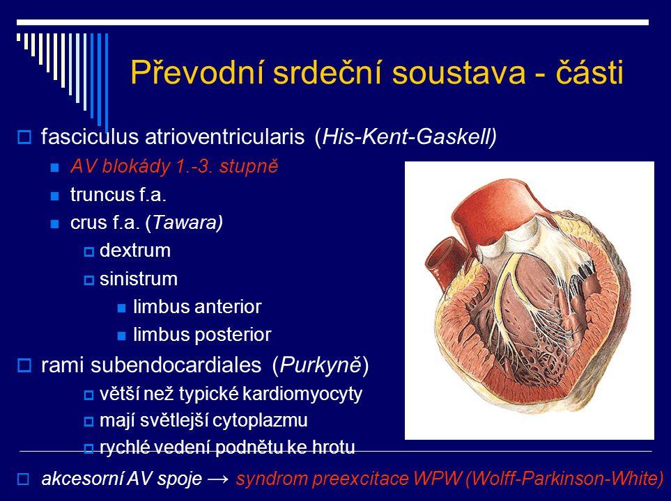 Převodní srdeční soustava - části  fasciculus atrioventricularis (His-Kent-Gaskell) AV blokády 1.-3. stupně truncus f.a. crus f.a. (Tawara)  dextrum
