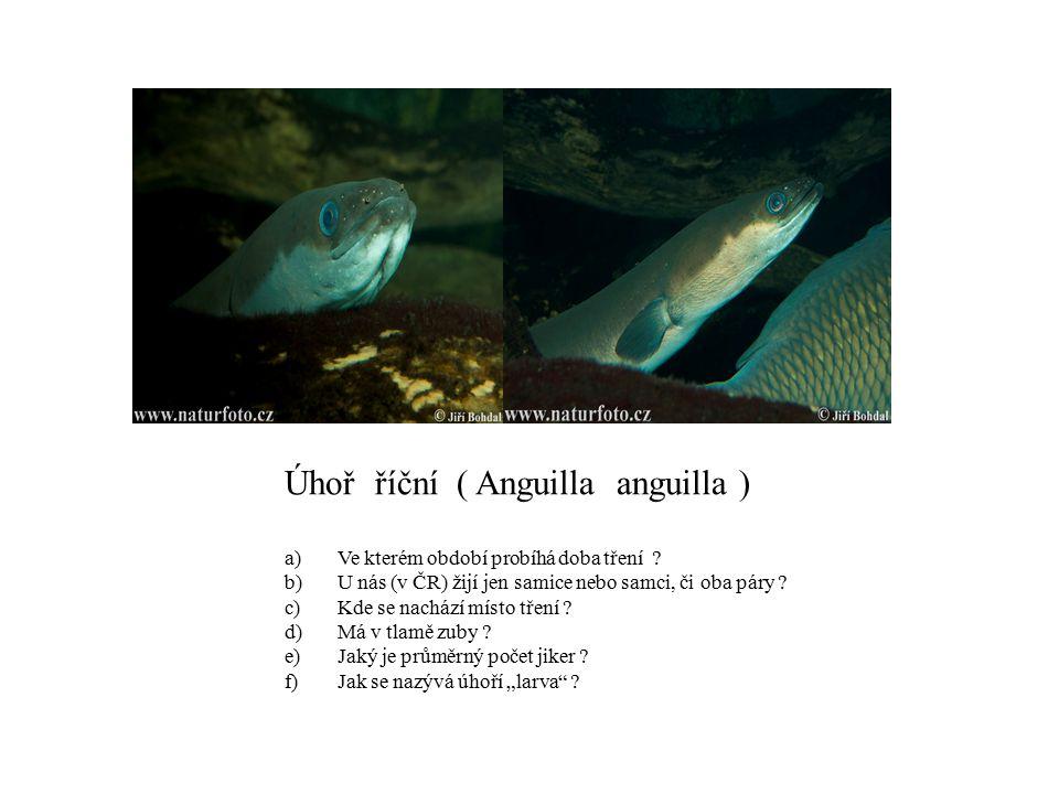 Úhoř říční ( Anguilla anguilla ) a)Ve kterém období probíhá doba tření ? b)U nás (v ČR) žijí jen samice nebo samci, či oba páry ? c)Kde se nachází mís