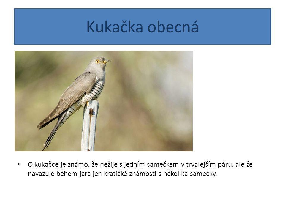 Kukačka obecná O kukačce je známo, že nežije s jedním samečkem v trvalejším páru, ale že navazuje během jara jen kratičké známosti s několika samečky.