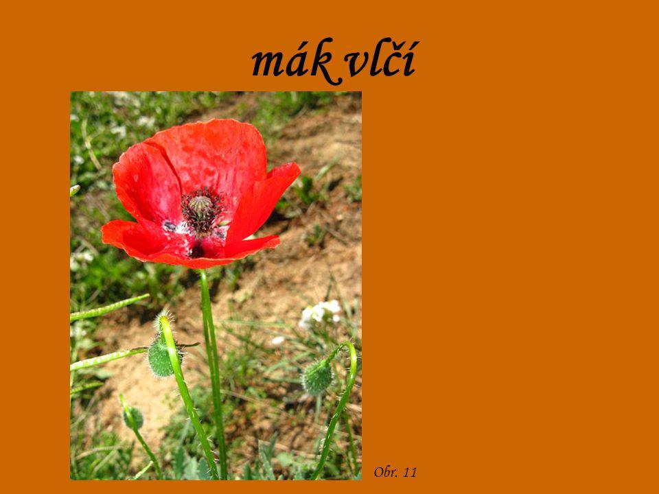 mák vlčí Obr. 11