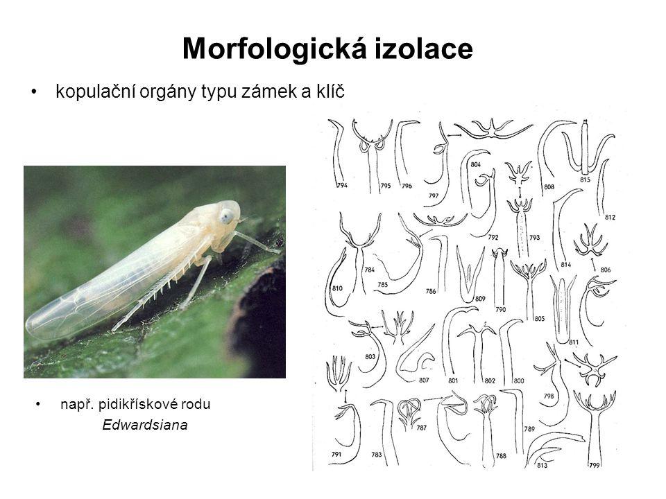 Morfologická izolace kopulační orgány typu zámek a klíč např. pidikřískové rodu Edwardsiana