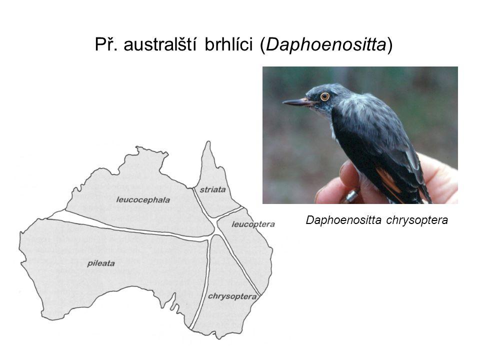 Př. australští brhlíci (Daphoenositta) Daphoenositta chrysoptera