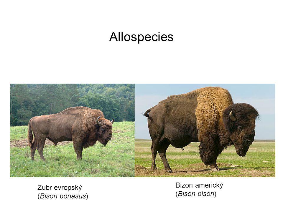 Allospecies Zubr evropský (Bison bonasus) Bizon americký (Bison bison)