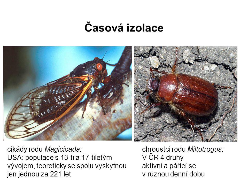 Časová izolace chroustci rodu Miltotrogus: V ČR 4 druhy aktivní a pářící se v různou denní dobu cikády rodu Magicicada: USA: populace s 13-ti a 17-til