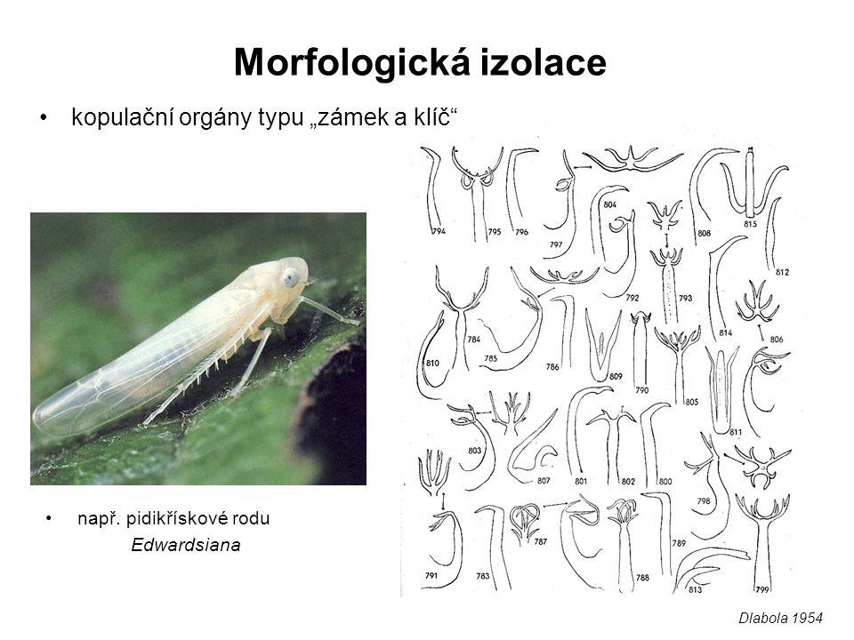 """Morfologická izolace kopulační orgány typu """"zámek a klíč"""" např. pidikřískové rodu Edwardsiana Dlabola 1954"""