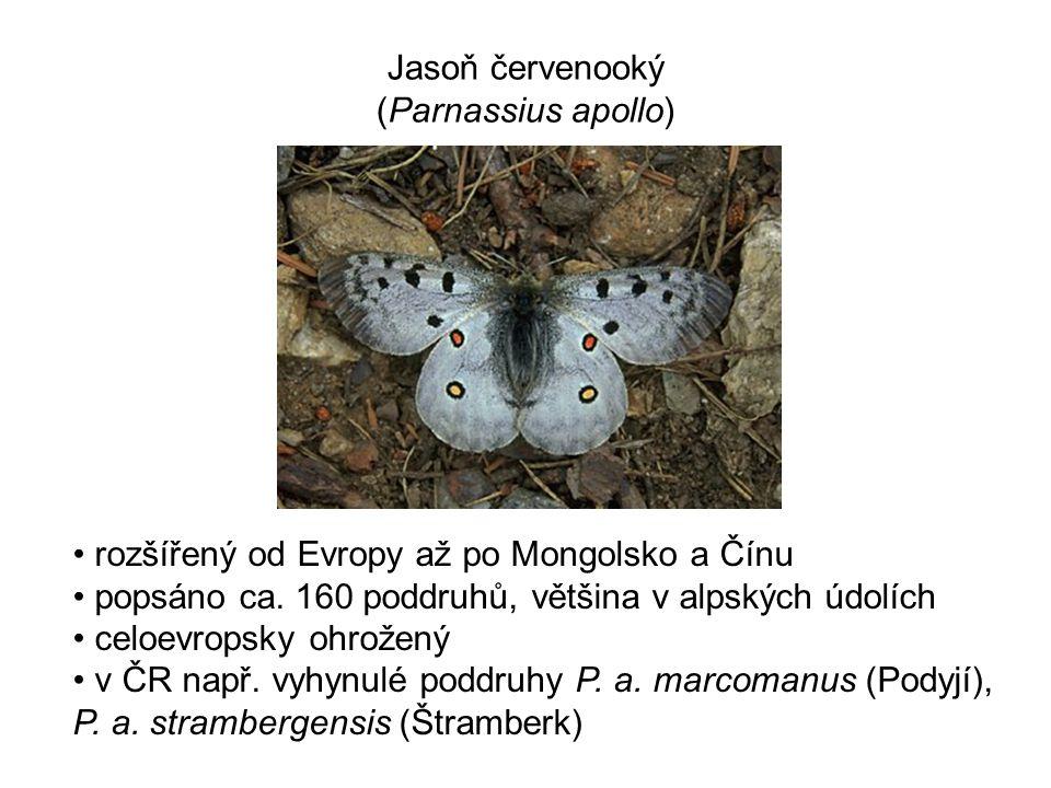 Jasoň červenooký (Parnassius apollo) rozšířený od Evropy až po Mongolsko a Čínu popsáno ca. 160 poddruhů, většina v alpských údolích celoevropsky ohro