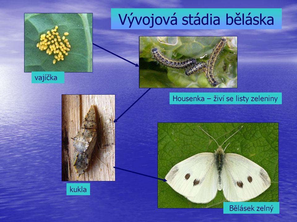 Vývojová stádia běláska vajíčka Housenka – živí se listy zeleniny kukla Bělásek zelný