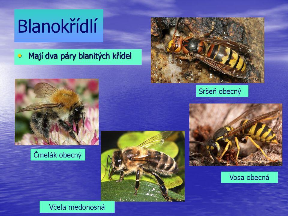Blanokřídlí Mají dva páry blanitých křídel Mají dva páry blanitých křídel Sršeň obecný Vosa obecná Včela medonosná Čmelák obecný