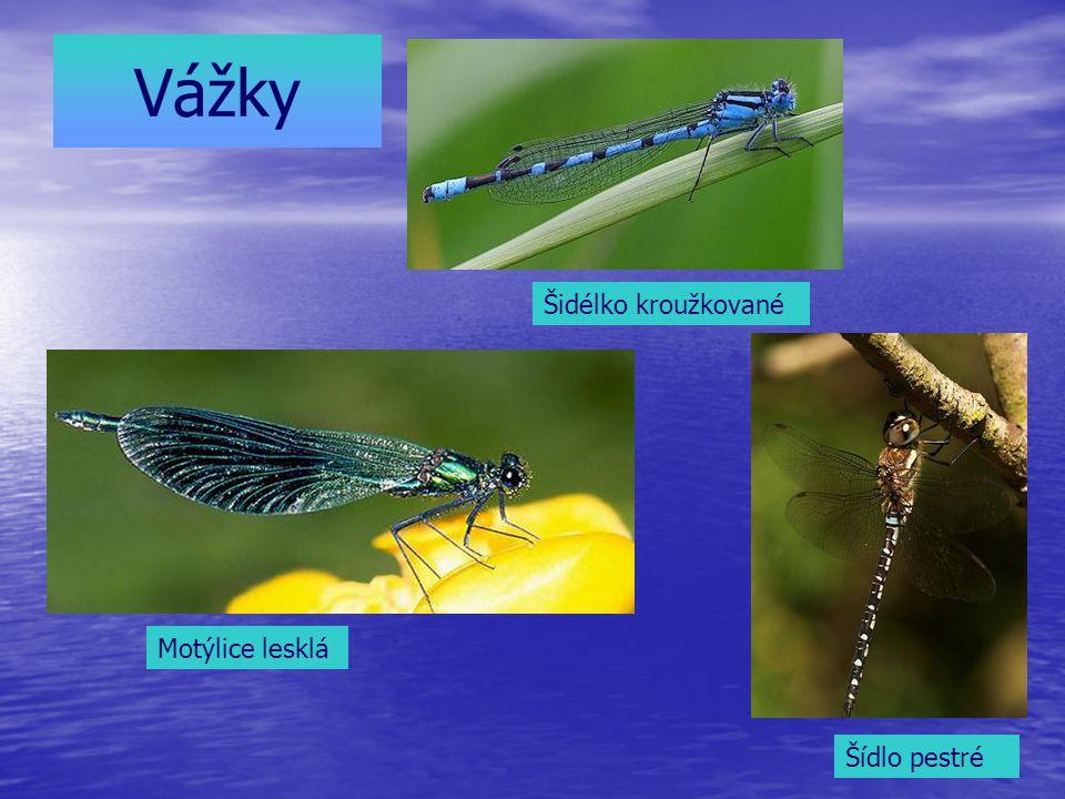 Vážky Šídlo pestré Šidélko kroužkované Motýlice lesklá