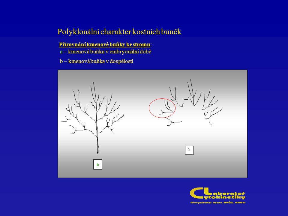 Polyklonální charakter kostních buněk Přirovnání kmenové buňky ke stromu: a a – kmenová buňka v embryonální době b – kmenová buňka v dospělosti a