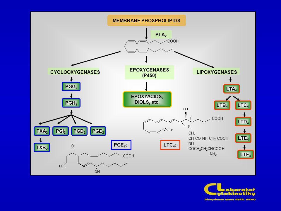 MEMBRANE PHOSPHOLIPIDS CYCLOOXYGENASES EPOXYGENASES (P450) LIPOXYGENASES CH 2 CH CO NH CH 2 COOH NH COCH 2 CH 2 CHCOOH NH 2 COOH LTA 4 LTF 4 LTE 4 LTD