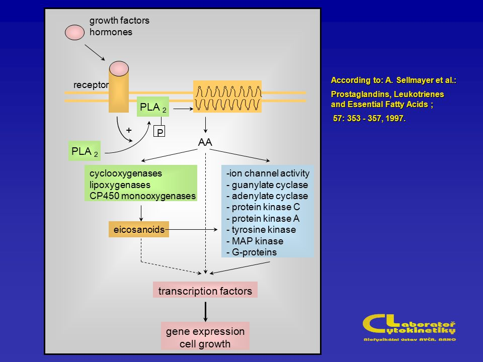 PLA 2 P receptor growth factors hormones AA -ion channel activity - guanylate cyclase - adenylate cyclase - protein kinase C - protein kinase A - tyrosine kinase - MAP kinase - G-proteins cyclooxygenases lipoxygenases CP450 monooxygenases eicosanoids transcription factors gene expression cell growth + According to: A.